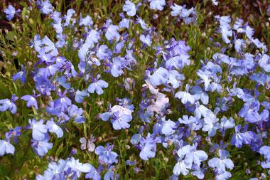 lobelia_purple-1549