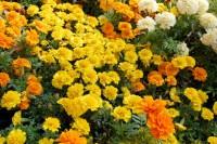 marigolds-french-web-0162