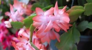 peach xmas cactus