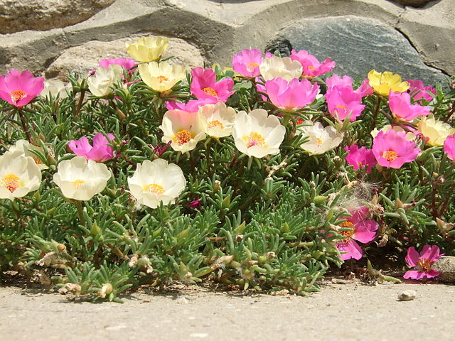 Portulaca or Moss Rose