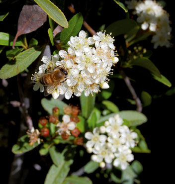 pyracantha-bee-cu-web