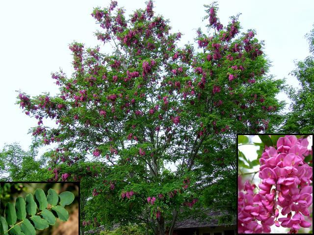 Flowering Locust
