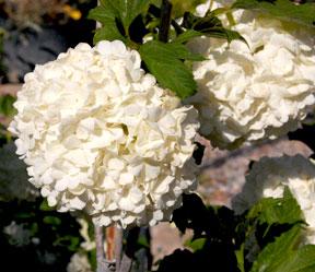 snowball-bush-crop-web-2127