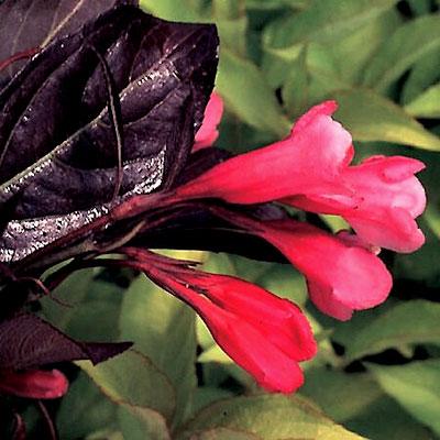 Weigela Wine and Roses