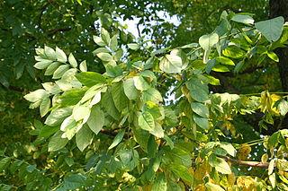 wiki-kentucky coffee-Gymnocladus_dioicus_JPG1b