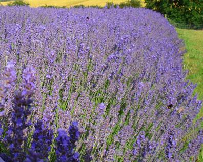 Fat Spike Lavender