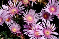 delosperma-pink-web_2346
