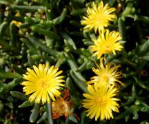 delosperma-yellow-web_1476