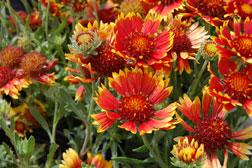 Gaillardia – Blanket Flower