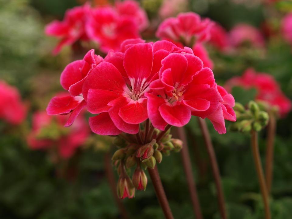 geraniumspx