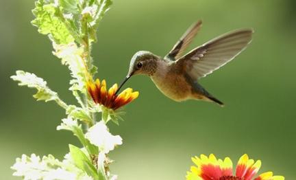 hummingbirdz