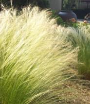 Mexican-Feather-Grass-Nassella-tenuissima