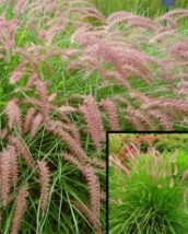 Oriental Fountain Grass
