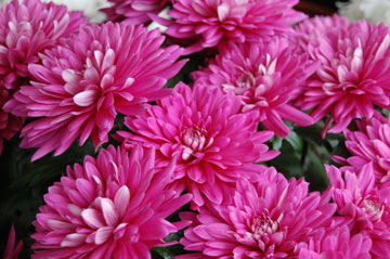 Chrysanthemums – Florist Chrysanthemums