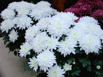 chyrsanthemums-florist-white