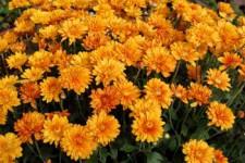 garden-mums-orange_0162