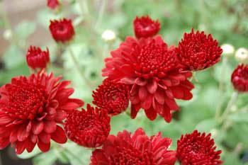 Chrysanthemums – Garden Mums