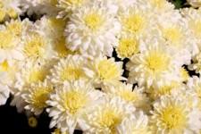 garden-mums-white0156