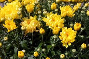garden-mums-yellow_0152