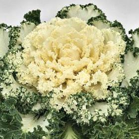 ornamental kale-white emperor-ballseed