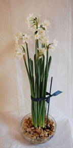 paperwhites-with-ribbon