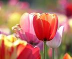 tulipssm