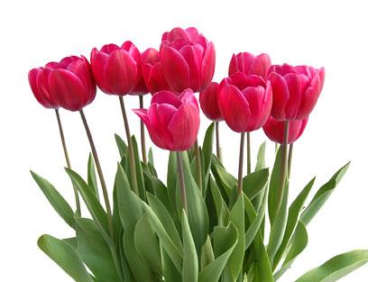 Tulips that Grow Indoors