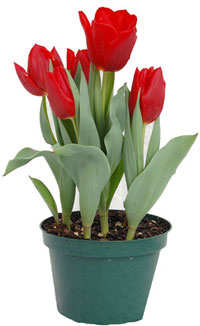 red-tulips-indoor-pot-web