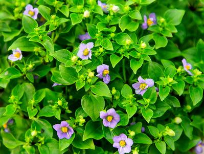 Persian or Arabian Violet