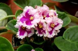 african-violet_2327-light--pink