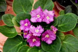 african-violet_2328-hot-pink