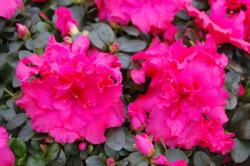 hot-pink-azalea_1077