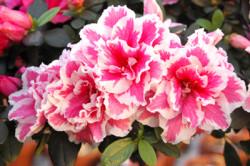 pink+white-azaleas-web