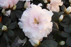 white-pink-azalea_cu-1081