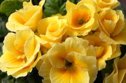 yellow primrose cu_1272
