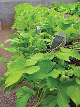 PAYNES_potatoplant