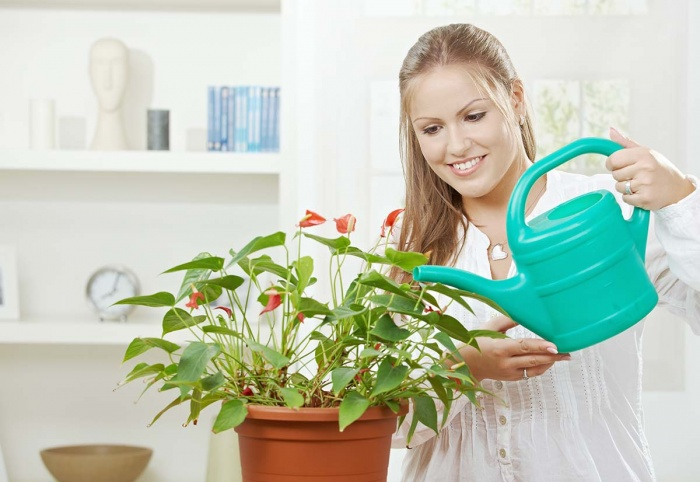 Watering a houseplant with a watering can