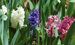 hyacinth-3-colors-web