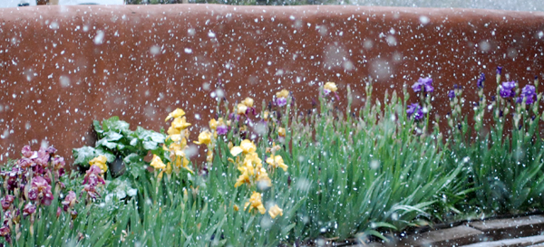 iris-in-snow-cropped-rj-web_1041