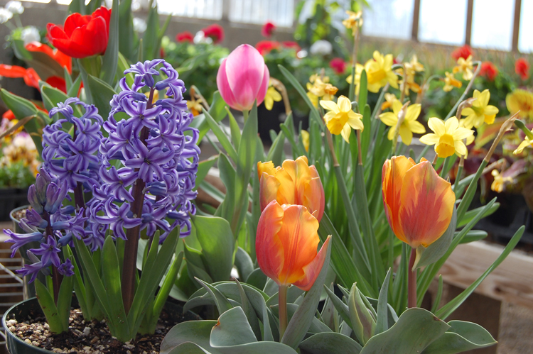 About Bulbs, Tubers, Rhizomes and Corms
