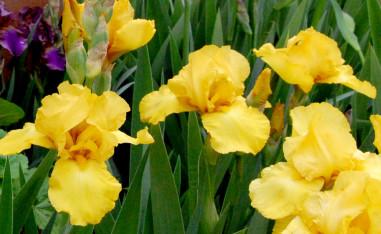 yellow-iris-cropped-rj-web_1013