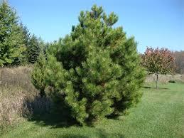 austrian pine 2