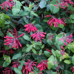 lonicera-sempervirens-Major-Wheeler
