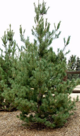Southwestern White Pine