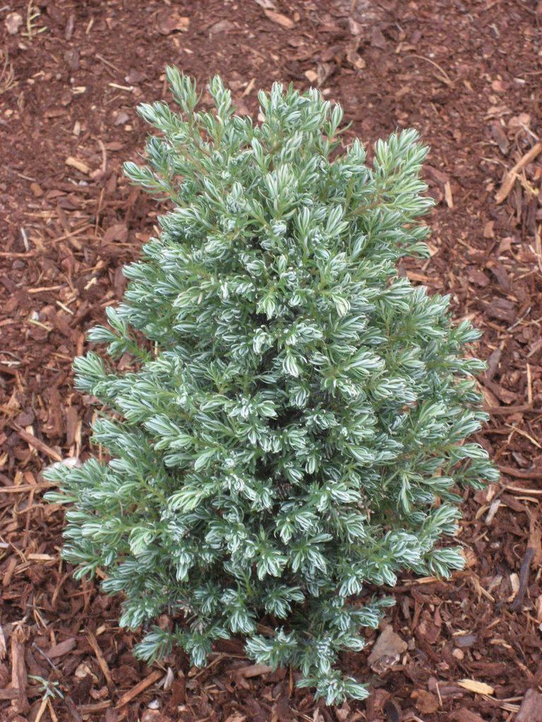 Swara Cypress
