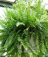 boston-fern-hanging