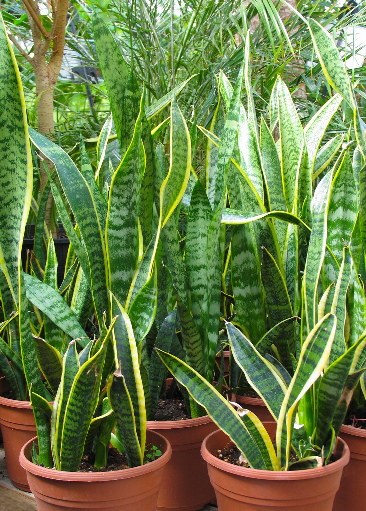 snakeplant2