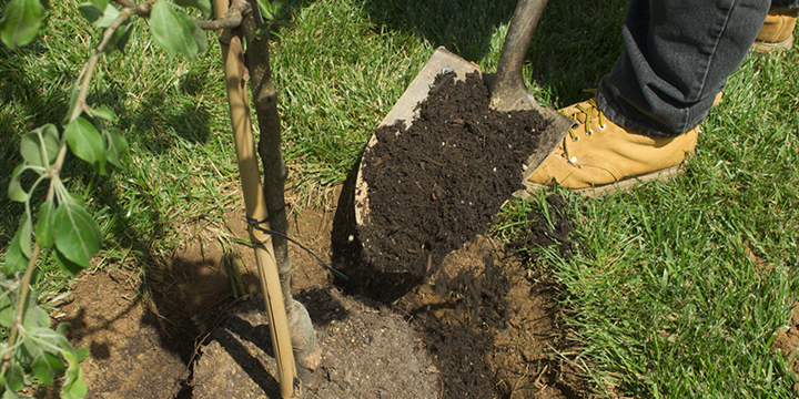 Filling a hole around a newly planted tree
