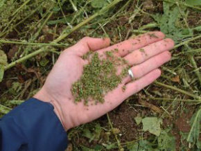 weedseed