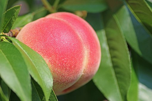 Belle of Georgia Peach